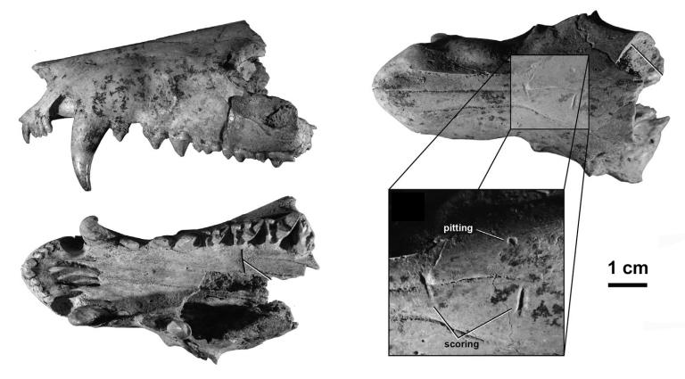 Mammalian predator–prey relationships and reoccupation of burr
