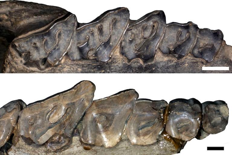 adinotherium-nesodon
