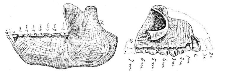 notopithecus-ameghino-1897