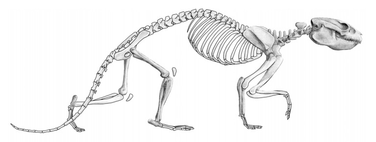 Postcranial morphology of Notopithecus Ameghino, 1897 (Notoungul