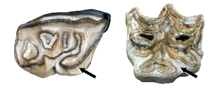 Argyro-Equid Tooth.jpg