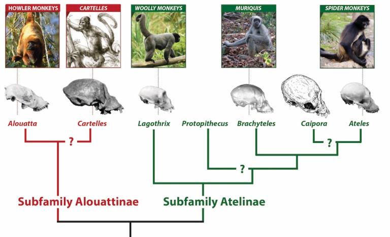 Phylogeny Sm.jpg