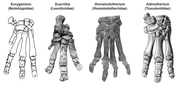 Figure 4 Toxodont Feet.jpg
