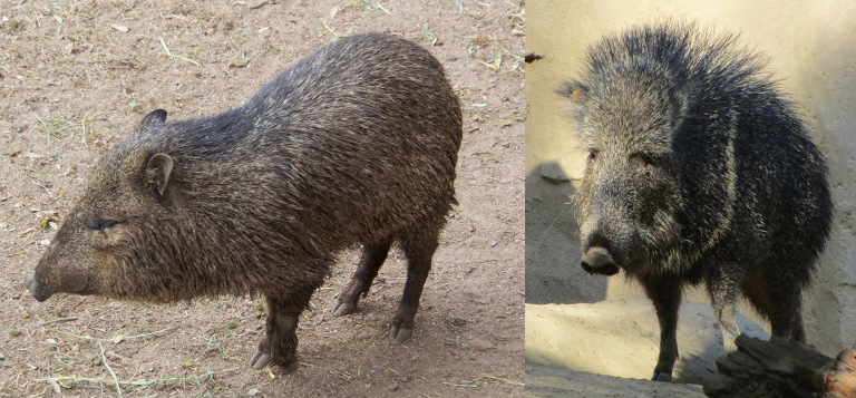 Figure 2 Peccaries.jpg