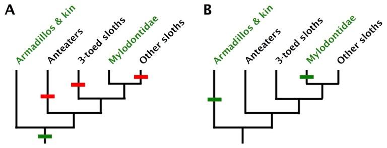 Octeoderm Cladograms.jpg