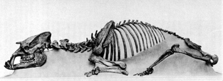 Fig. 3 FMNH Astrapotherium Sm.jpg