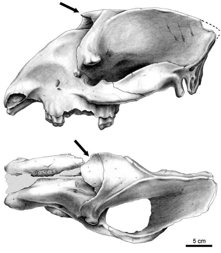 Fig. 5 Astraponotus.jpg