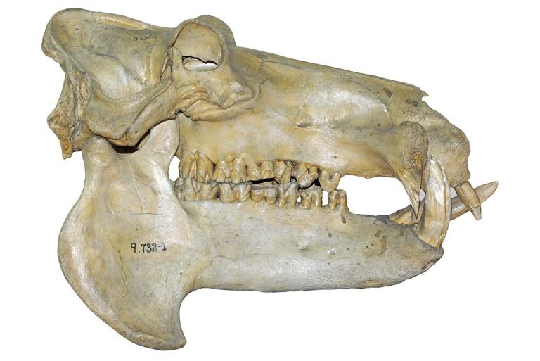 Fig. 6 Hippo.jpg