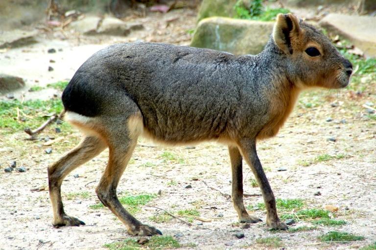 Mara Dolichotis patagonum 1.jpg